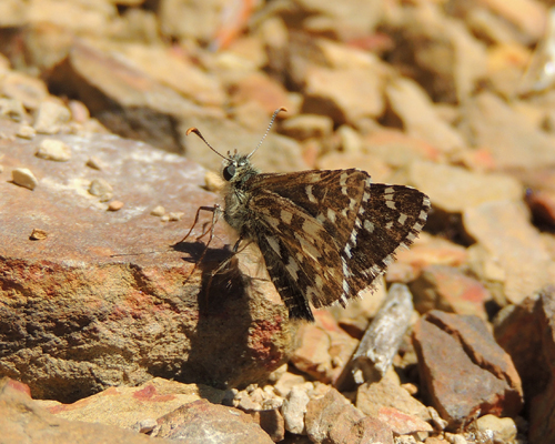 Appalachian Grizzled Skipper