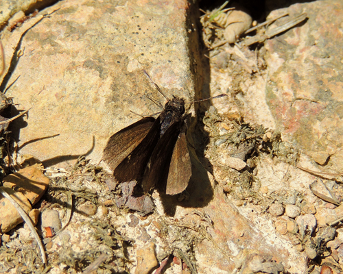 Common Roadside Skipper
