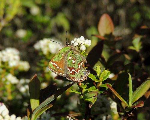 Hessel's Hairstreak
