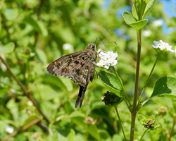 Dorantes Long-tailed Skipper