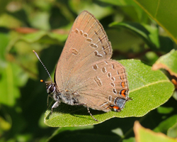 Edwards Hairstreak