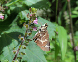Lace-winged Roadside Skipper