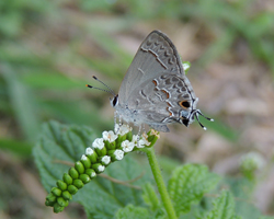 Lacey's Scrub Hairstreak