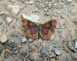 Northern Metalmark