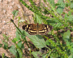 Pale-banded Crescent