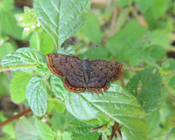 Red-bordered Metalmark