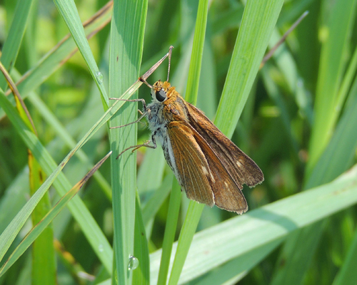 Two-spotted Skipper