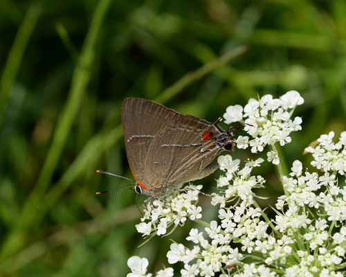 The first butterfly: a White M Hairstreak!